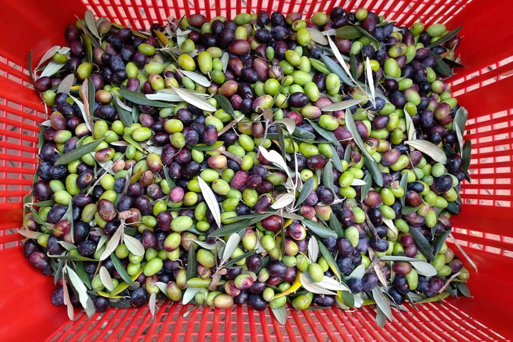 raccolta-olive-garda residence -ca-del-lago