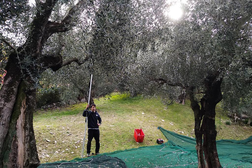 raccolta-olive-lago-di-garda residence-ca-del-lago